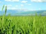 Wheat-haHula-ISRAEL2