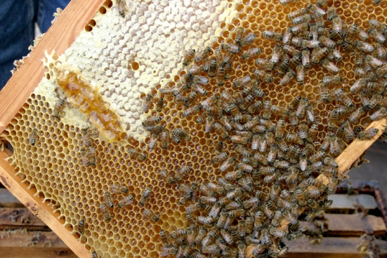 Израильские пчелы не кусают людей