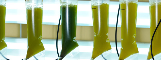 Аквакультуры растут в подвешенных емкостях V–образной формы, способных обеспечить максимальное воздействие света для фотосинтеза