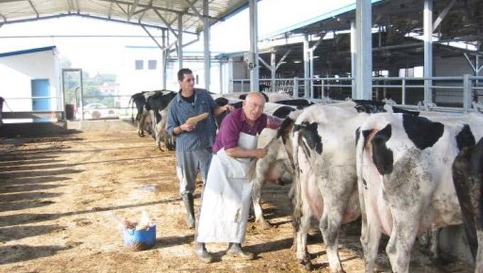 Израильские коровы – мировые рекордсменки по надоям молока