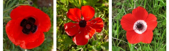 IsraelRedFlowers001_anemones_wiki
