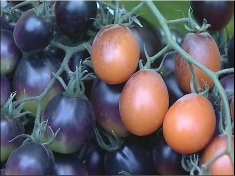 Средняя урожайность помидоров на открытом грунте составляет 60-80 тонн с гектара, а в теплицах – около пятисот тонн