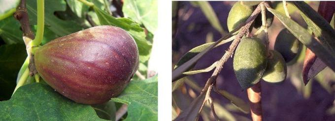 Плоды Земли обетованной