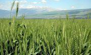 800px-Wheat-haHula-ISRAEL_main
