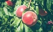 peaches_main