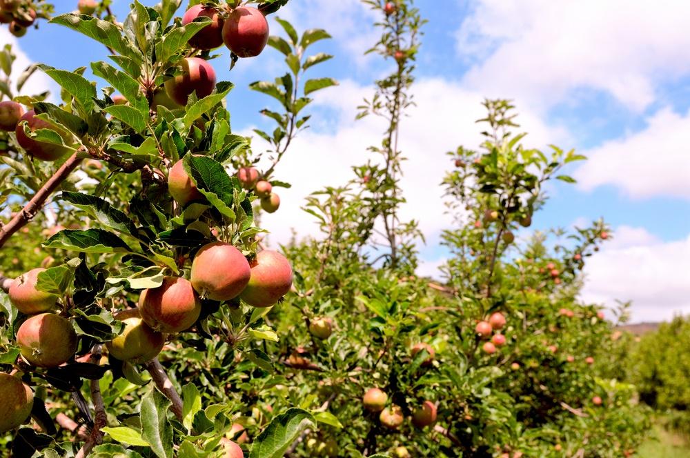 apple_trees_Ramat_Hagolan