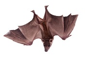 Egyptian fruit bat_ьфшт