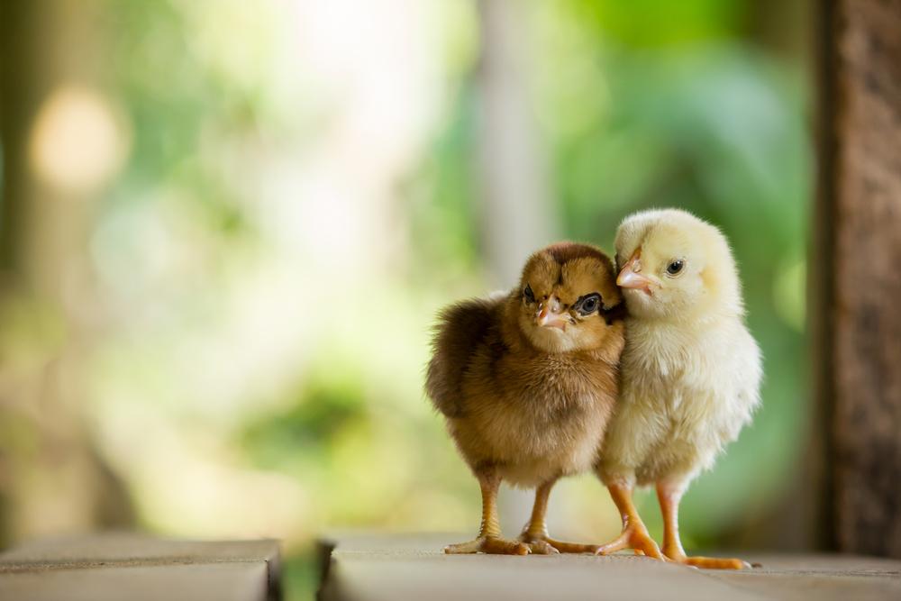 Израильско-американская разработка спасет миллиарды цыплят от уничтожени