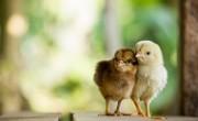 chick_main