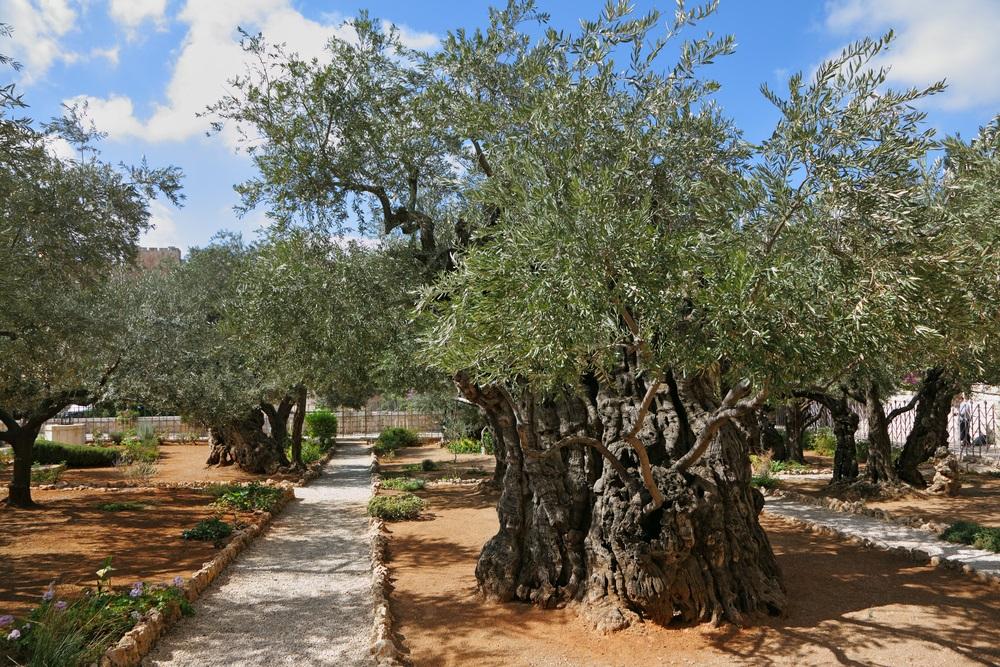 old_oliv_tree