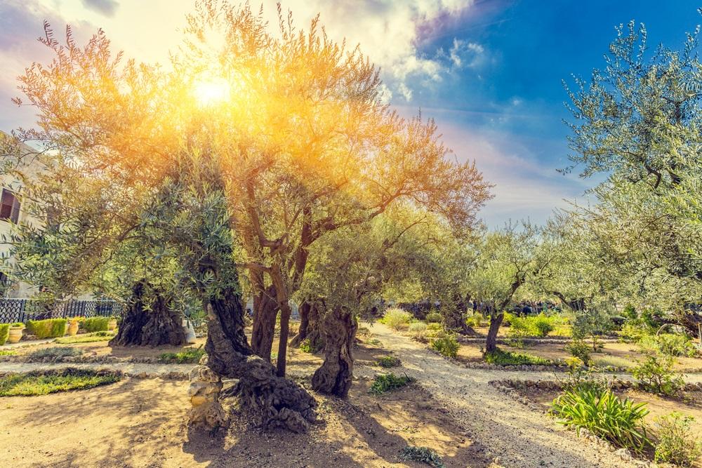 olive_trees_israel