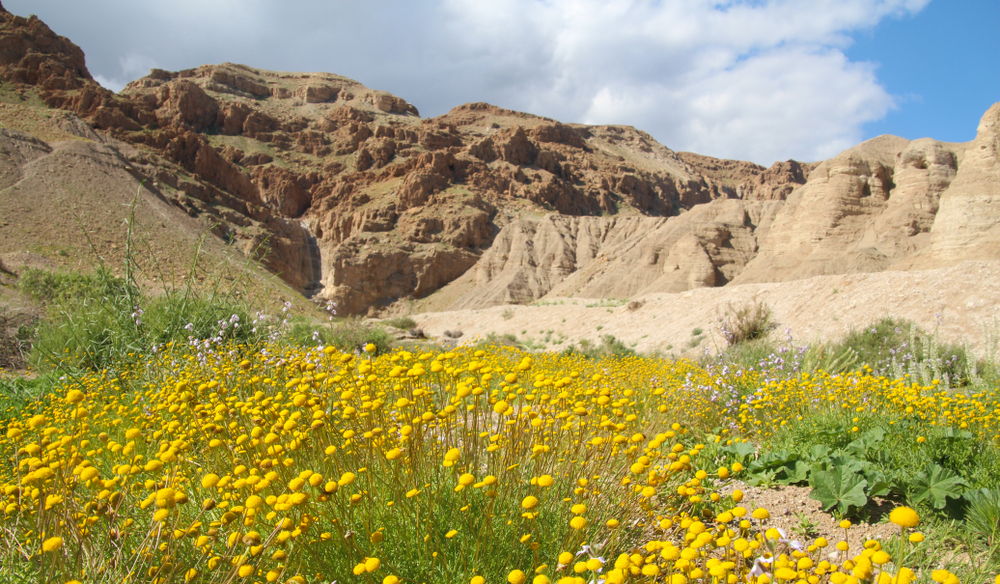 The Judean desert blooms. Close up view of a beautiful bloom of Aaronsohnia. family: Asteraceae. Israel Dead Sea region