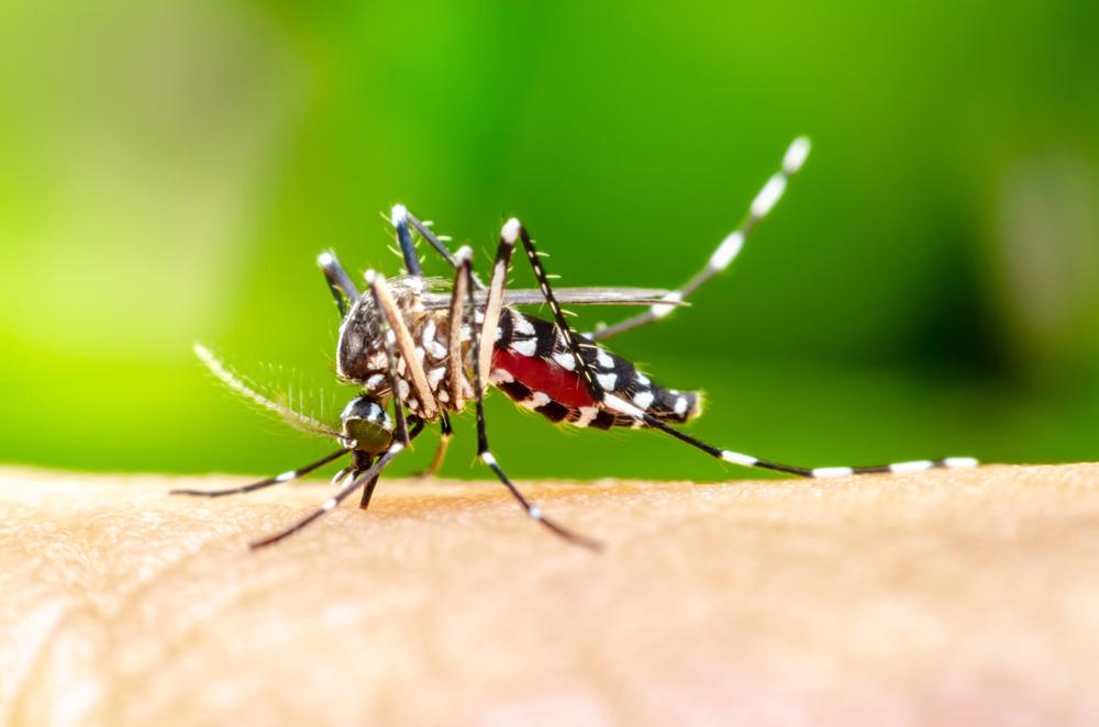 female_Mosquito