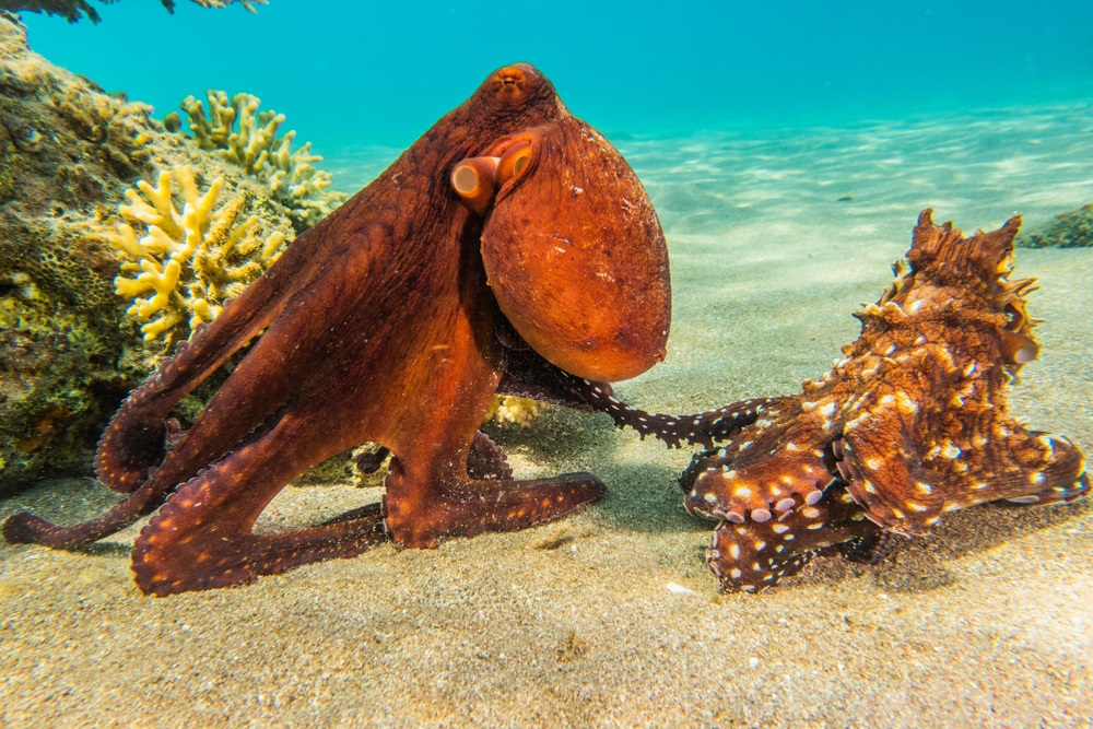 octopus_red_sea_1
