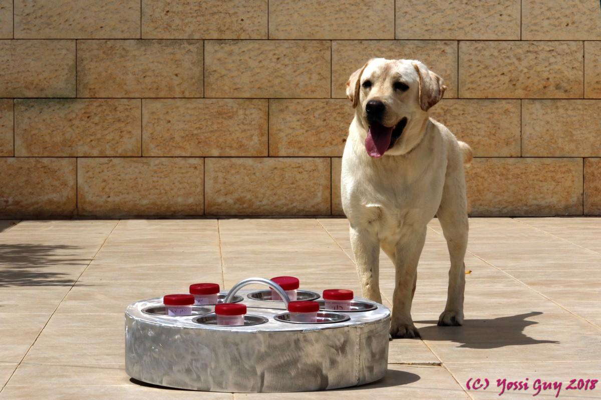 Пёс Тимми распознает по запаху образцы слюны. Fhoto: Yossi Guy